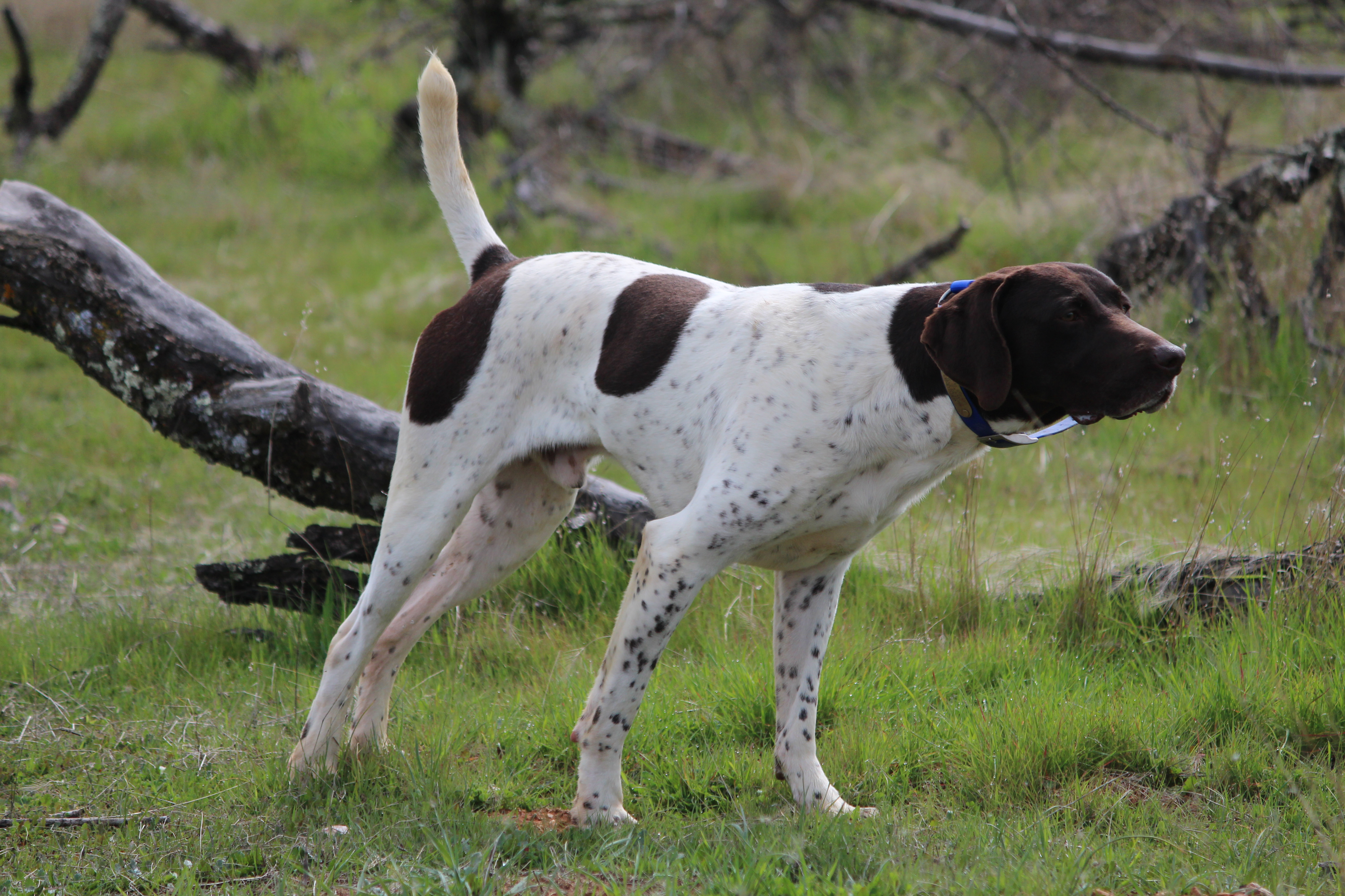 Studs | German Shorthaired Pointers, Palermo Ranch Kennels